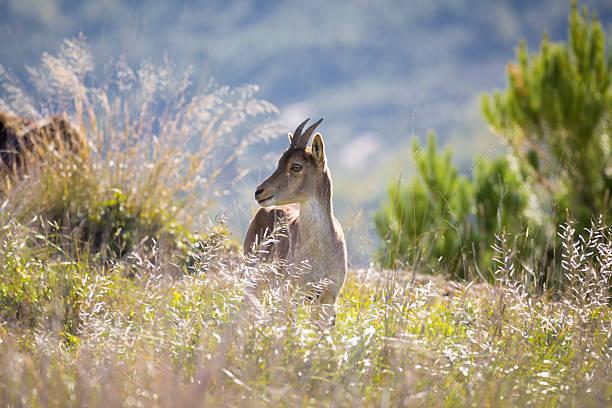 Cabra montesa ibérica